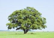 蘑菇型大樹