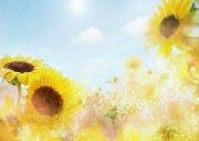 向日葵鮮花攝影