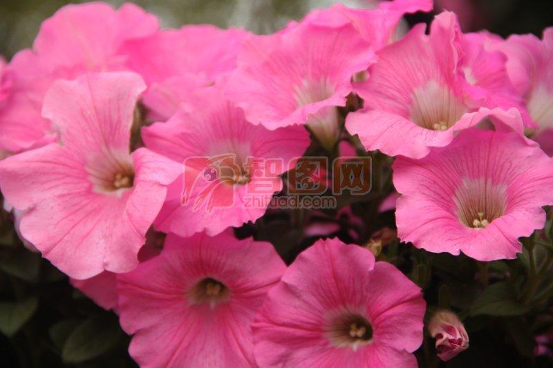 粉红色鲜花元素