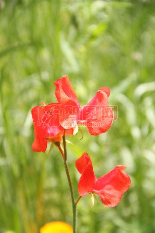 红色花瓣元素