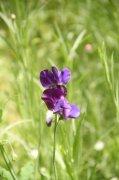 紫色鲜花元素