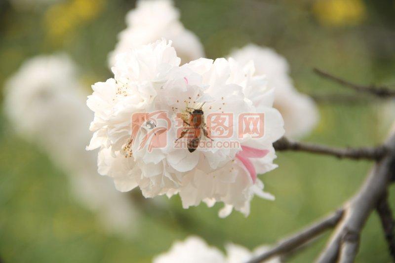高清櫻花蜜蜂特寫