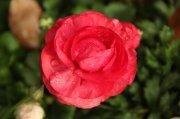 高清水珠紅花