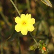 黄色花朵元素