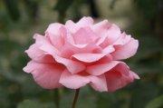 浅粉月季花