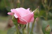 粉色月季花素材