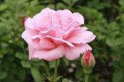粉色鲜花元素2