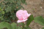 浅粉色鲜花摄影