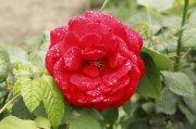 红色鲜花元素
