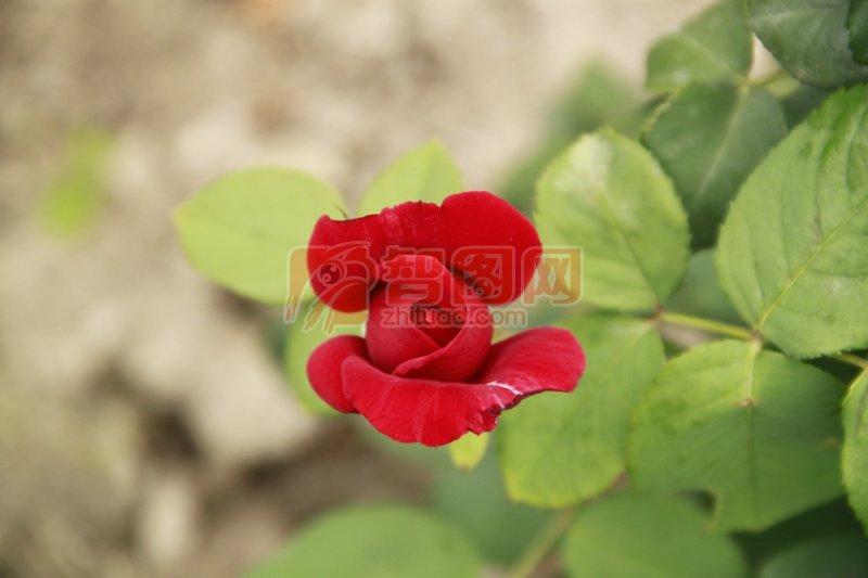 红色月季花苞元素