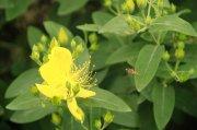 香型黄花元素