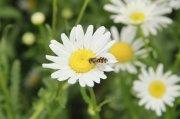 白色鲜花摄影元素