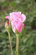 粉色月季花元素