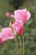 粉色月季花