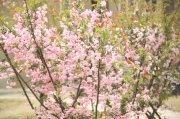 樱花树元素