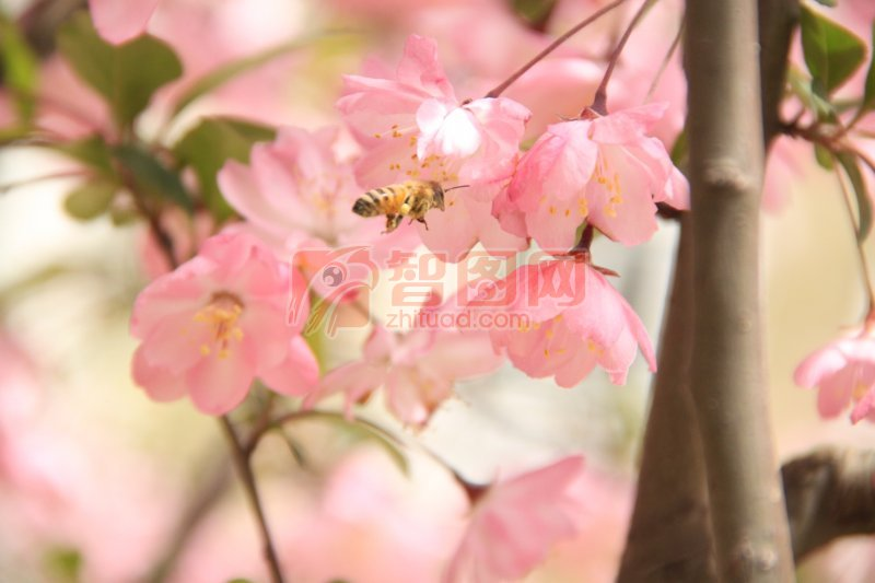 樱花元素摄影