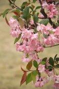 樱花素材摄影