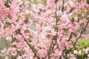 粉红色樱花素材