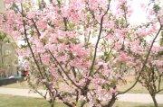 粉色樱花元素