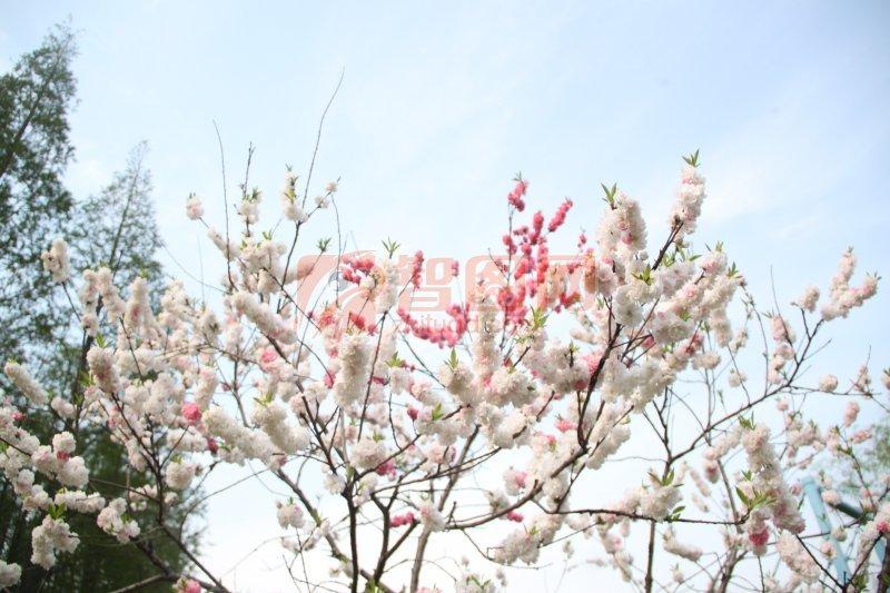 樱花摄影元素