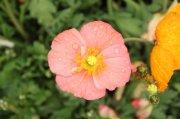 罂粟花元素