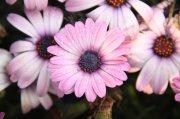 粉色花朵元素