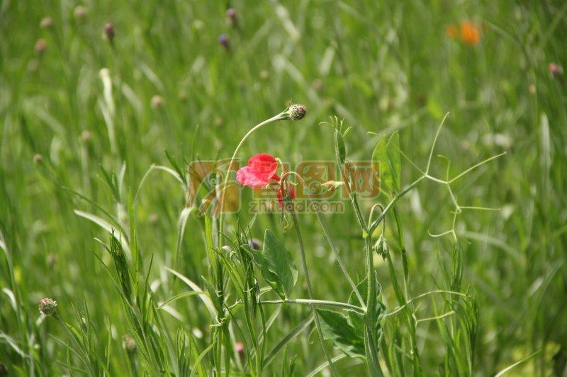 红色鲜花素材