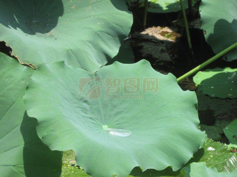 水珠子绿叶