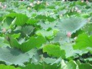 叶绿荷花香