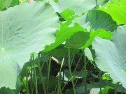 荷花绿叶片