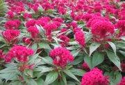 红红鸡冠花