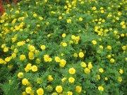 黄菊花草丛