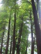 青翠松林子