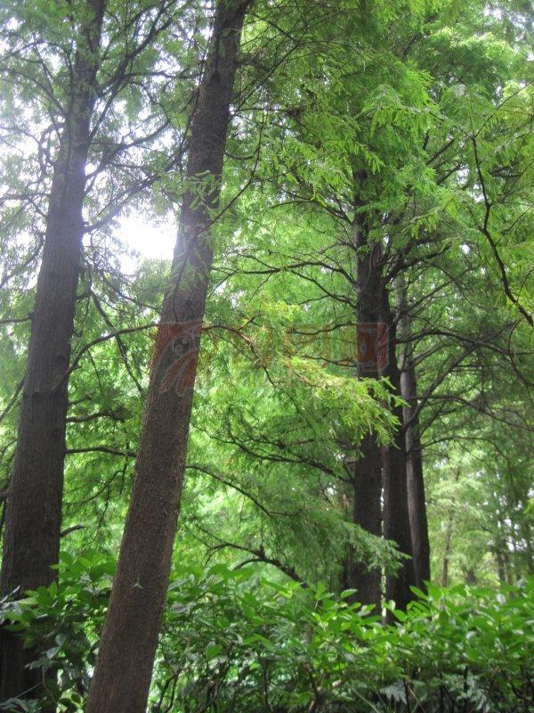 亚热带松林