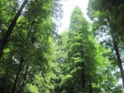 高大松树林
