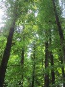 亚热带松树林子
