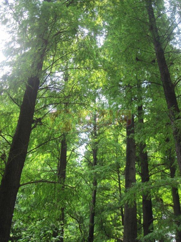 【jpg】亚热带松树林子