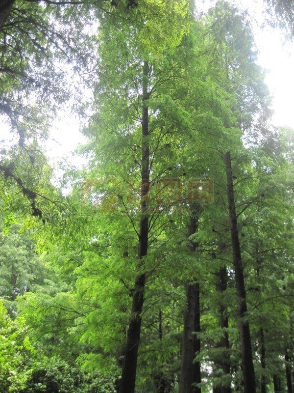 长长松子林