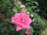 粉色玫瑰花花
