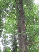 高大绿枝树干