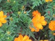 红橙果子花