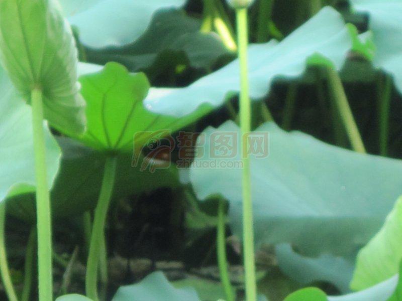 清雅荷叶茎摄影