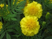 黄灿灿花朵