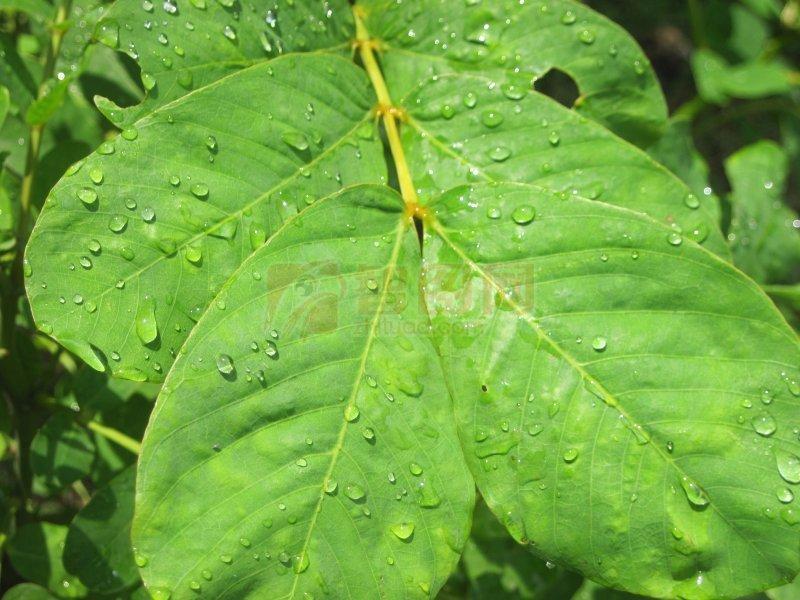 青绿圆形叶子