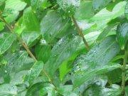 水滴青叶子