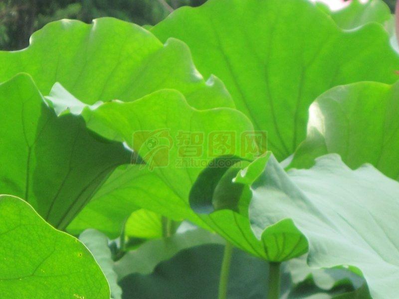 绿色微信头像植物莲花