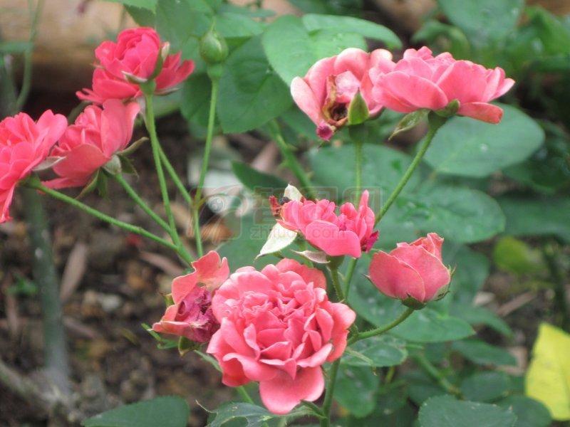 红粉玫瑰花儿