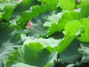 青绿荷叶池