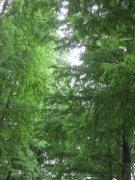 苍翠松香树