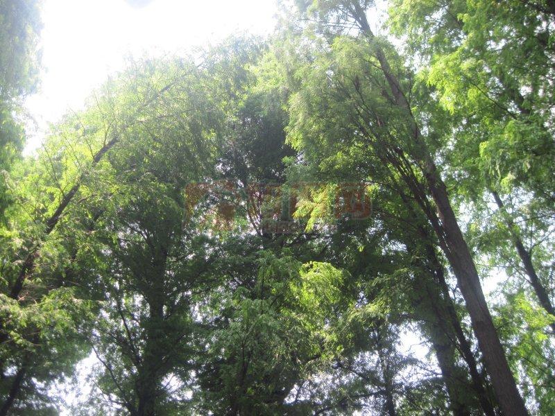 长松子的松树图片;